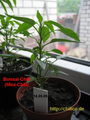 Bonsai-Chili Mai 2009