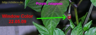 Purple Jalapeno Knospe mit Window Color