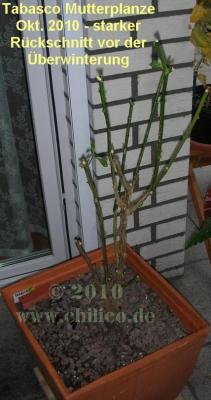 Tabasco-Mutterpflanze Okt. 2010 starker Rückschnitt